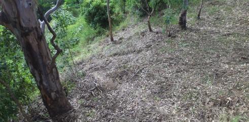 Lantana Eradication Queensland 2