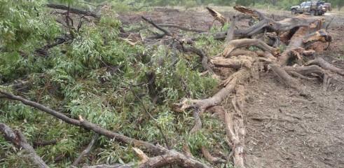 Mulching Tree - Land Clearing 1