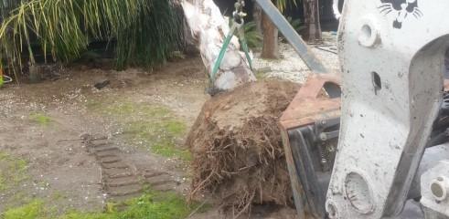 Palm tree transplants 3
