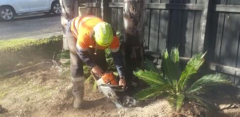 Palm tree transplants 5